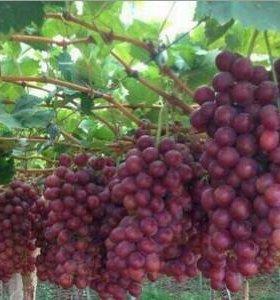 Продаю саженцы винограда двухгодовалые