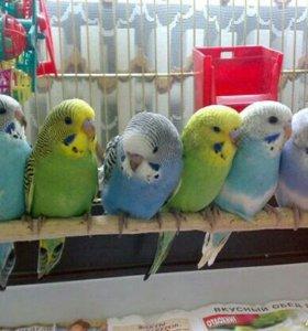 птенцы волнистых попугайчиков