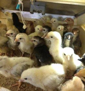 Цыплята суточные, помесные.