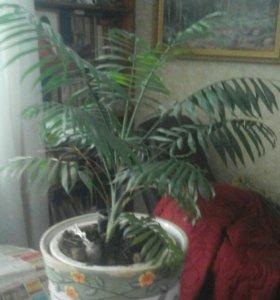 Комнатные растения Хамидорея