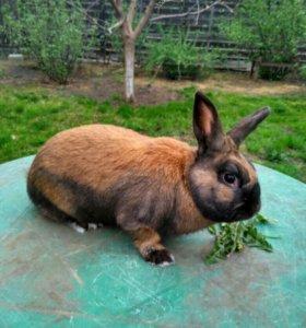 Тюрингенский кролик
