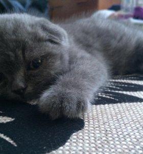 Британский котенок