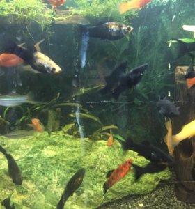 Рыбки меченосцы, молинезии и др