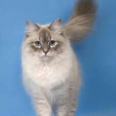 Невско маскарадная кошка в продаже