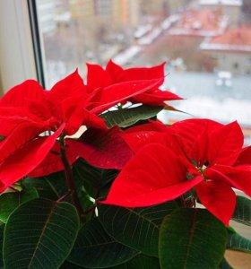 Рождественская звезда / Пуансетия