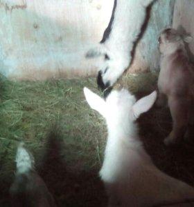 Козлик камолый от молочной альпийской козы