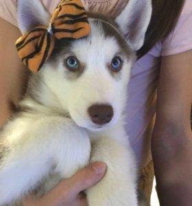 Продаются очаровательные щенки Сибирской хаски.