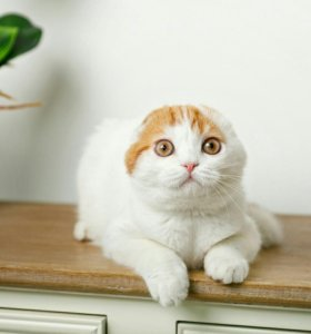 Шотландский котик. Питомник