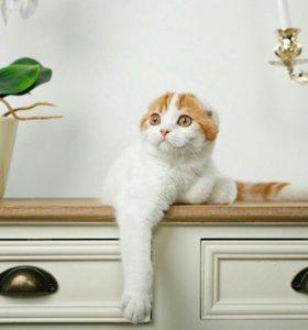 Шотландский котик.