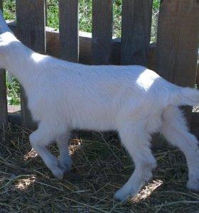 Зааненские дойные козы племенной козлик и их дети