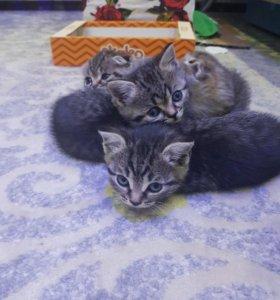 Продаются чистопородные шотландские котята