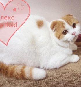Шикарный шотландский котик