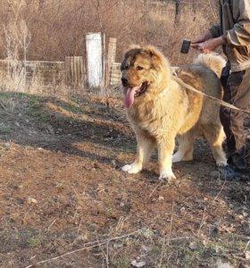 Кавказская овчарка на вязку