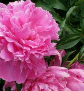 Пион розовый
