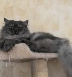 Шотландский длинношёрстный кот