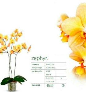 Подросток орхидеи