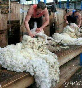 Стрижка овец ножнями