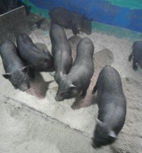 Ветнамскии веслобрюхии свиньи