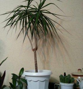 Растение Драцена.