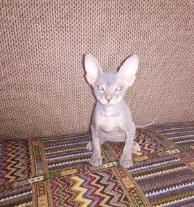 Донской сфинкс котенок девочка