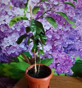 Дерево мандарина