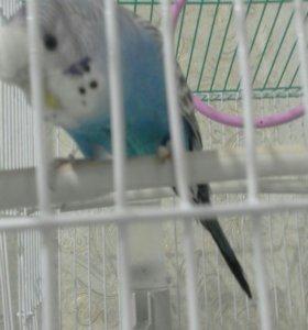 Продаю попугайчика вместе с клеткой