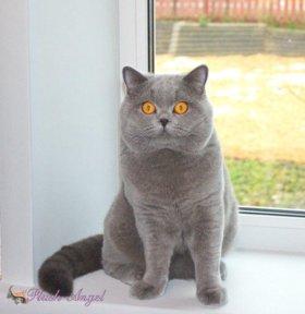 Британский кот в добрые руки