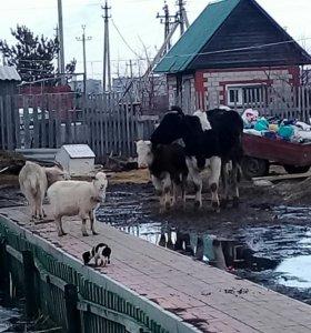 Молочные козы