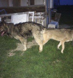Щенок от волка