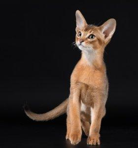 Абиссинский котёнок