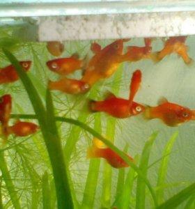 Рыбки пицылии