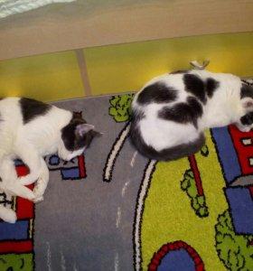 Сибирские кот и кошка