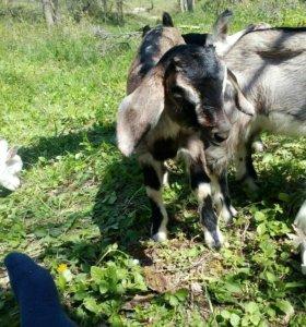 Альпо-нубийские козлики и козочка