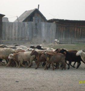 Козы, овцы