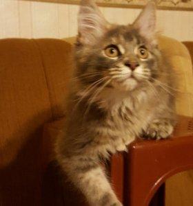 Чудесные котята Мейн кун