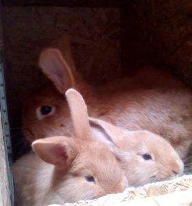 Новозеладские красные- кролики.