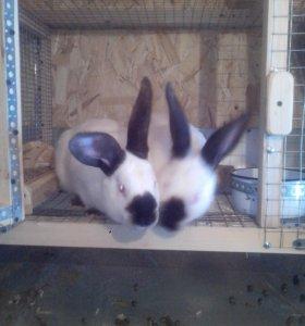 Кролики Калифорния ИСТРА