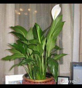 Комнатные цветы, спатифиллум, амариллис, каланхоэ