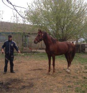 Лошадь  чисто кровка
