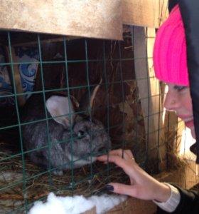 Вязка/случка кролики племен.калифорнийцы, великан