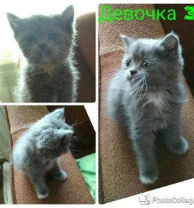 Котята наполовину перс-экзот
