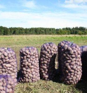 Картофель деревенский едовой