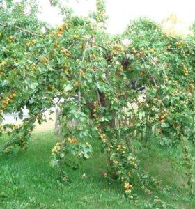 Продам саженцы абрикоса 2-х летние
