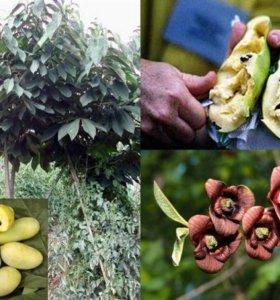 Продаю саженцы азимины (мексиканский банан)