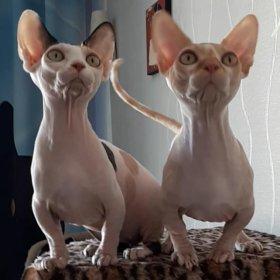 Котёнок породы бамбино