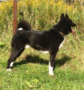 продам охотничью собаку, лайку русско-европейскую