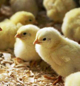 Цыплята суточные пород Кучинские, Адлерские и др