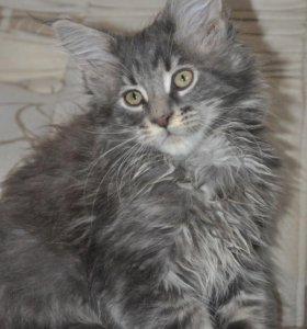 Котята мейн - кун