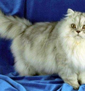 Нужен персидский кот для взязки моей кошки