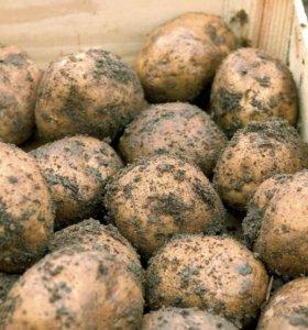 Картофель с ростками на посадку. Осталось 12 вёдер